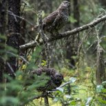 August 12th : Double spruce grouse