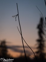 August 14th : Damselfly in the sunset
