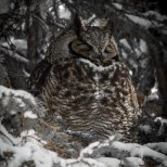 December 11th : Great-horned Owl