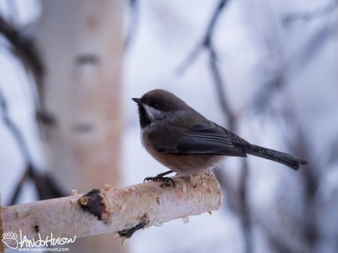 11:37 AM : A boreal chickadee plans its next move at my feeders outside of the house