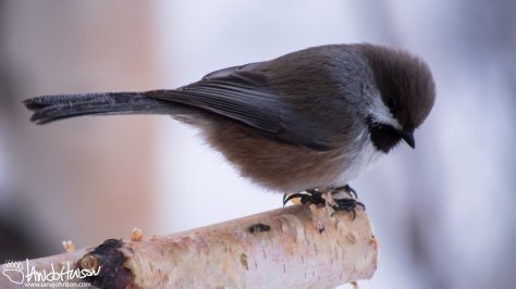 11:37 AM : A boreal chickadee poses for a cute picture just outside of my house