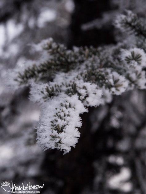The hoar frost built an intricate lattice of ice on each needle of this black spruce. Quite pretty!