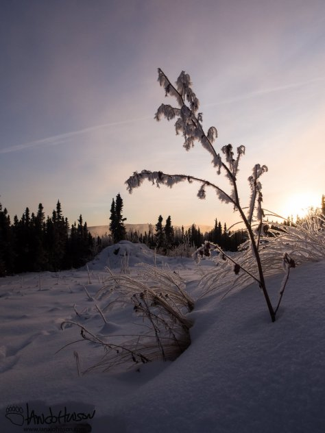 A shrub with a heavy layer of hoar frost was illuminated by the setting sun.