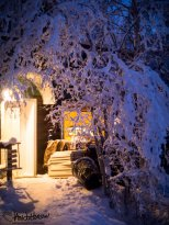 January 20th : Snow covered birches form a tentacle tunnel to my house.
