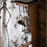 February 10th : Downy Woodpecker at the suet