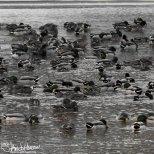 February 27th : Mallards on the Chena River