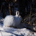 March 24th : Snowshoe hare