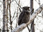 May 6th : Great-horned Owl