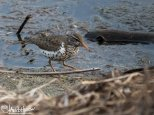 May 21st : Spotted Sandpiper at Wander Lake