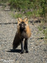 June 1st : Cross fox in Fort Yukon, Alaska
