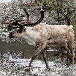 June 10th : Caribou in Denali NP