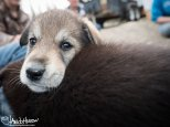 July 2nd : Sled dog puppies