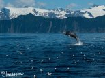 July 11th : Breeching humpback, Seward, Alaska