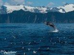 July 11th : Breeching humpback, Seward, Alaska