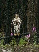 July 13th : A young eagle between Skilak and Bing's Landing