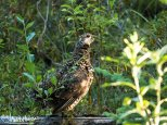 July 21st : A young spruce grouse