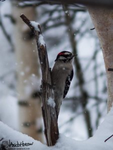 A downy woodpecker looks on at the snow falls.