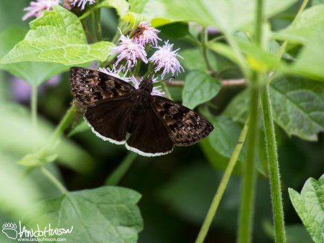 Duskywing Butterfly (unknown species)