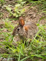 Texas Hare