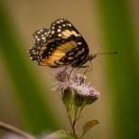 Butterfly, unknown speces