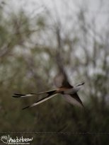 Scissors-tailed Flycatcher takes flight