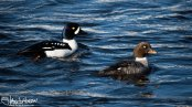 A pair of Barrow's Goldeneye. Such a beautiful duck!
