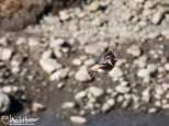 Cliff Swallow coming in for a landing!