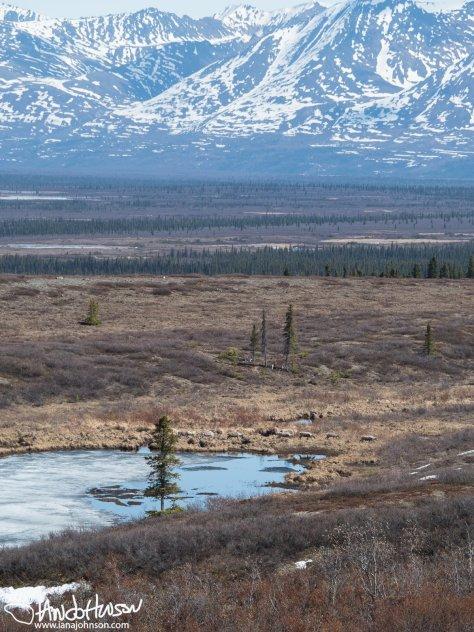 Alaska Range Caribou
