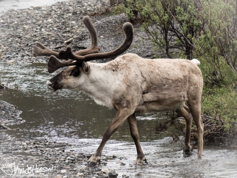 Caribou Savage River