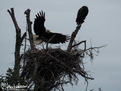 American Bald Eagle, Homer, Alaska