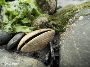 This image of a dead clam among the rocks, and surrounded in seaweed seemed to imbibe the whole concept of tidal change to me.