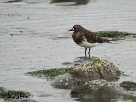 Black Turnstone Bishop Beach, Homer, Alaska