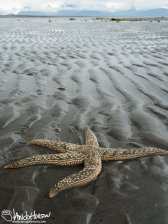 (2)... like this starfish! This large star fish was 10 - 12 inches across. We moved it to a wetter, and safer tide pool.