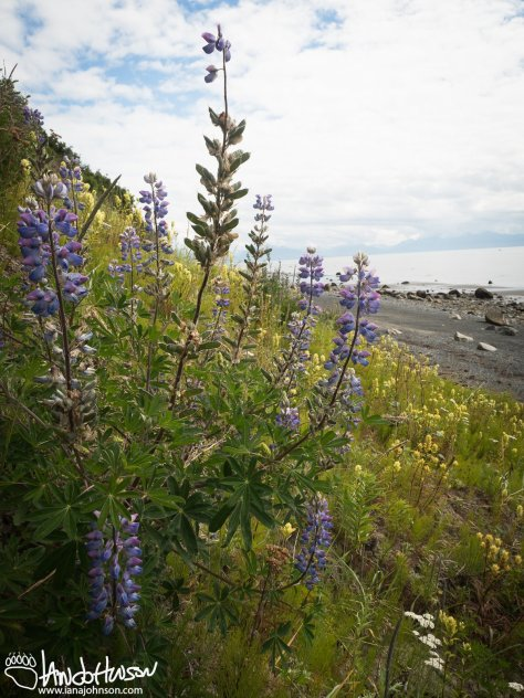 Lupines and Yellow Paintbrush, Homer, Alaska,