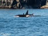 As we moved further out of Resurrection Bay we encountered a pod of Killer Whales! The dominant male was demarcated by a large fin and led the pod.