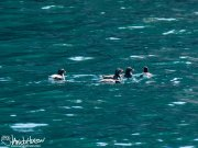This group of parakeet auklets was a treat. They are aptly name - their chatter sounds very much like parakeets!
