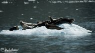 A large group of harbor seals shares a flow of ice.