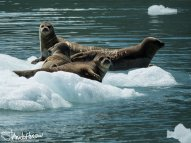 Near northwestern glacier harbor seals use icebergs as resting haul-outs and to raise pups.