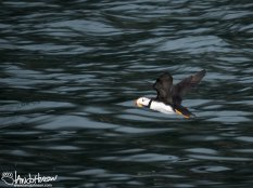 Named for the distinct feather that reached above their eye, a horned puffin takes flight near the Chiswell Islands.
