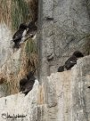 On the sheer rock faces we were lucky to be shown these thick-billed murres. A lifer for the trip!