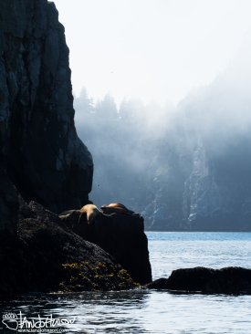 During the day we found several groups of stellar sealions - the groups of composed of one dominant male and the much smaller females. These two females rested on a rock ledge shrouded in fog.