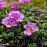 Purple Mountain Saxifrage, Saxifraga oppositifolia, Mendenhall Glacier Trail, Juneau, Alaska