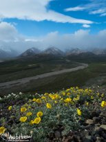 One Flower Cinquefoil (Potentilla uniflora), Denali National Park, Polychrome Overlook, Alaska