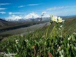 Narcissus-flowered Anenome (Anemome narcissiflora), Denali National Park, Eilson Visitor Center, Alaska