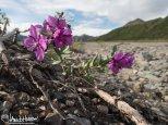 Dwarf Fireweed/River Beauty (Chamerion latifolium), Denali National Park, Alaska