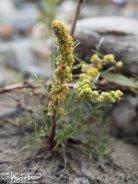 Arctic Wormwood (Artemisia alaskana), Denali National Park, Alaska