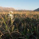 Cuckoo Flower (Cardamine pratensis), Galbraith Lake, North Slope, Alaska