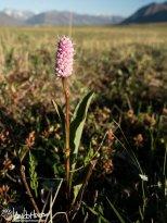 Pink Plumes (Bistorta plumosa), Galbraith Lake, Alaska