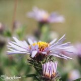 Purple Aster (Aster spp), Chatanika River, Alaska
