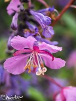 Fireweed (Chamerion angustifolium), Fairbanks, Alaska
